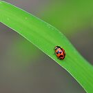 Lady Beetle by Claire  Farley