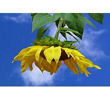Giant Sunflower Photographic Print