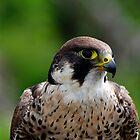 Peregrine falcon portrait by buttonpresser