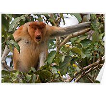Bellowing Proboscis monkey Poster