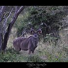 Kudu by Clayton Sageantes