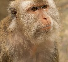 Formosan Rock Macaque by tara-leigh
