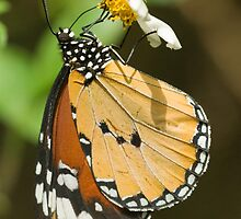 Plain Tiger Butterfly by tara-leigh
