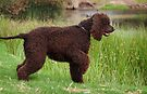 Irish Water Spaniel On Point by Helen Green