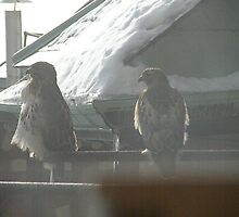 The male and female red tailed hawk at Rhode Island Hospital December 2009 by deborahpuerini