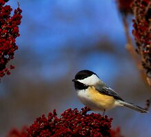 My Little Chicadee - Lisle, Illinois by John Absher