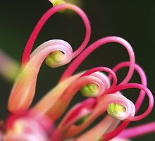 Grevillea Semperflorens by andrachne