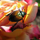 Scarab Beetle on Sunrise Rose by shutterbug2010