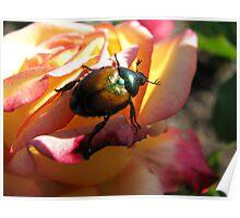 Scarab Beetle on Sunrise Rose Poster