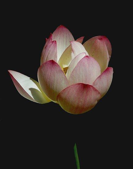 Peace Petals by Macky