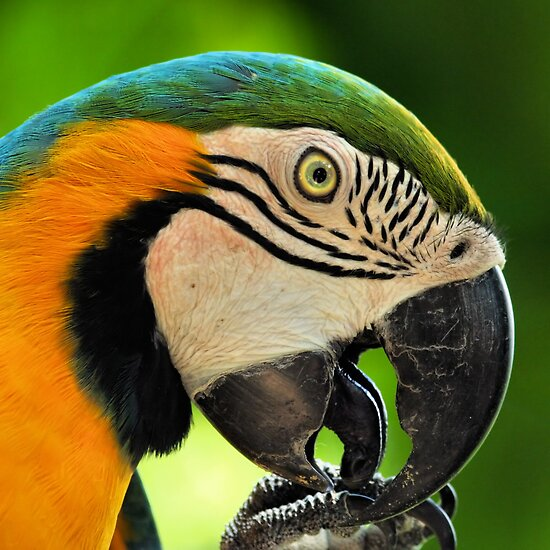 Parrot by jimmy hoffman