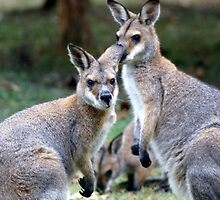 White-faced Wallabies by BronReid