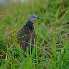 native pigeon by Missy777