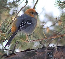 female Pine Grosbeak by whisperjo
