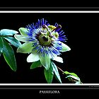 Passiflora by vitocork