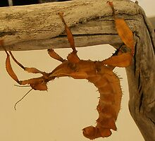 stick insect by gaylene
