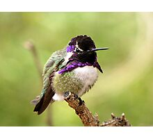 Costa's Hummingbird ~ Male Photographic Print
