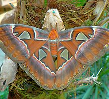 ATLAS MOTH(Attacus atlas)  by Johan  Nijenhuis