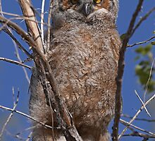 Fledging Great Horned Owl by Jerry Segraves