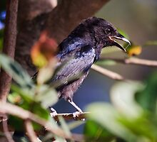 Forked-tailed Drongo by Ann  Palframan
