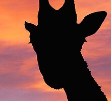 Giraffe silhouette at quirky angle by buttonpresser