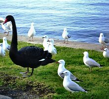Black Swan - elegant & beautiful, The Strand, Williamstown by EdsMum