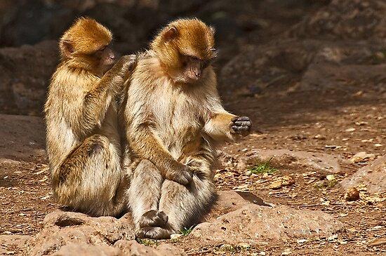 Barbary Macaques (Macaca sylvanus) by Konstantinos Arvanitopoulos