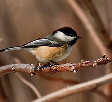 Black Capped Chicadee - Lisle Illinois by John Absher