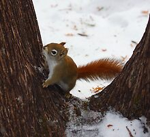 Squirrel climbing a tree by Josef Pittner