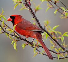 Cardinal in Flowering Cherry Tree by Bonnie T.  Barry