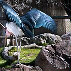 Marabou Stork showing off his wings by pandapix