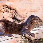 Otter soaking up the sun by pandapix