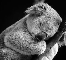 Wake Me Later - Sleeping Koala by David Morgan-Mar