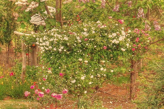 Climbing Roses by Elaine Teague