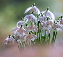 Simply Snowdrops by Jacky Parker