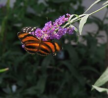 A Banded Orange  Helicania by Margarite