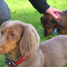 Toby the dachshund by Jeremy Mawson