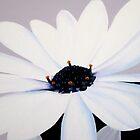 """ Daisy "" Close Exert from painting by Taniakay"