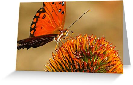 Monarch or is it a Painted Lady...?? at sunset on a Cone Flower..ok found it it's a  Gulf Fritillary by kellimays