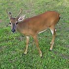 Key Deer in the Florida Keys by aura2000