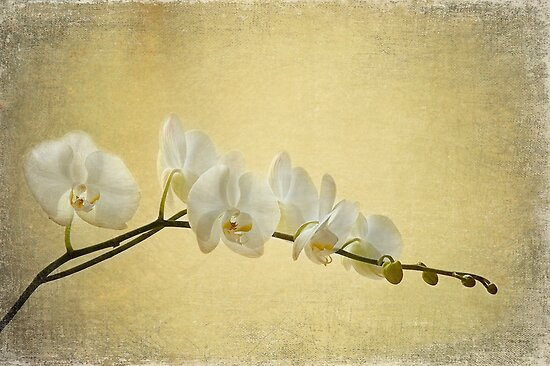White Orchid on Golden Silk by AnnieD