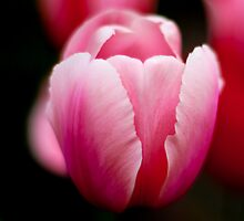 Lone Pink Tulip by Paul Marotta