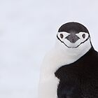 Chinstrap Stare by tara-leigh