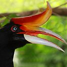 """Rhinoceros Hornbill"" by Sue  Fellows"