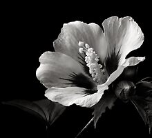 Rose Of Sharon In Black and White by Endre