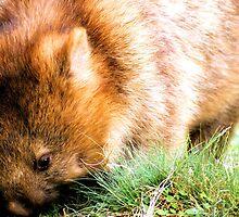 Tasmanian Wombat.. by Ian Cox