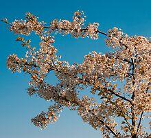 cherry blossom by nordvil