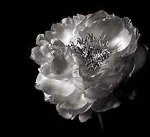 Peony in Black and White by Endre