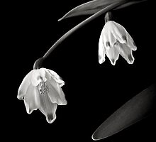 Snow Drops in Black and White by Endre