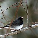 JUNCO / SNOW BIRD by Ruth Lambert